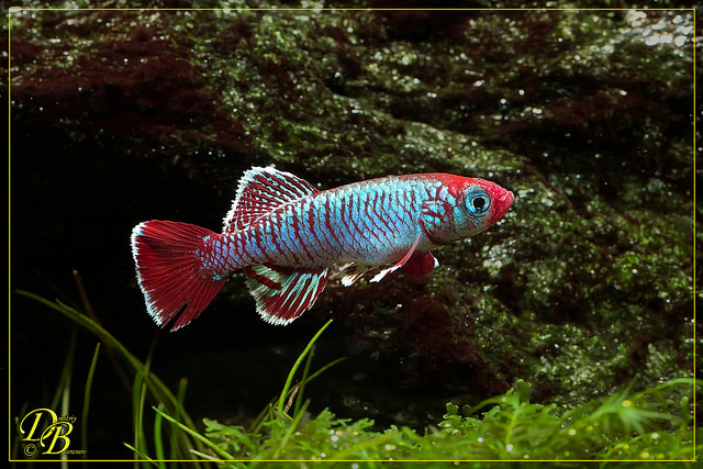 Nothobranchius eggersi red TSTS 2012-17.jpg